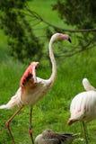 Greater flamingo (Phoenicopterus roseus) Royalty Free Stock Images