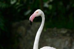Greater flamingo (Phoenicopterus roseus) Stock Photography