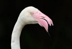 Greater flamingo (Phoenicopterus roseus) Stock Photo