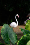 Greater flamingo (Phoenicopterus roseus) Royalty Free Stock Photo