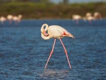 Greater Flamingo. Phoenicopterus roseus, Camargue, France royalty free stock image