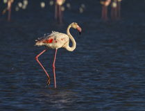 Greater flamingo, phoenicopterus roseus, in Camargue, France. Greater flamingo, phoenicopterus roseus, standing in the blue water, Camargue, France stock photography