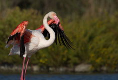 Greater flamingo, phoenicopterus roseus, Camargue Royalty Free Stock Images