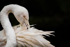 Greater flamingo Phoenicopterus roseus in close-up and isolated stock images