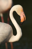 The greater flamingo (Phoenicopterus roseus) closeup. The greater flamingo & x28;Phoenicopterus roseus& x29; closeup, portrait of the bird Stock Image