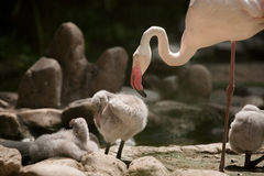 Greater Flamingo  (Phoenicopterus roseus). Greater Flamingo family (Phoenicopterus roseus Stock Image