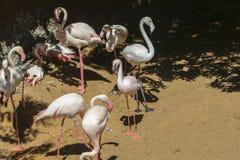Greater Flamingo (Phoenicopterus roseus) Stock Photos