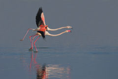 Greater Flamingo (Phoenicopterus roseus). Royalty Free Stock Image