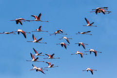 Greater Flamingo Phoenicopterus roseus Stock Images
