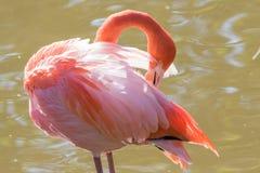 Greater flamingo - phoenicopterus roseus - grooming royalty free stock photo