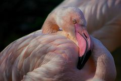 Greater flamingo, bird, eye, pink royalty free stock image