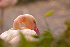 Greater flamingo / Phoenicopterus roseus Stock Image