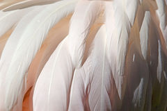 The greater flamingo Phoenicopterus roseus Stock Image