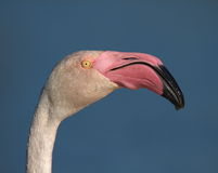 Greater flamingo, phoenicopterus roseus, portrait Royalty Free Stock Photos
