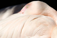 The greater flamingo Phoenicopterus roseus Royalty Free Stock Photography