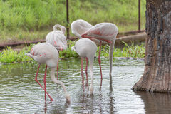 Greater Flamingo or Phoenicopterus roseus searching foods Stock Photo