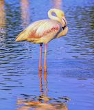 Greater flamingo, phoenicopterus roseus, in Royalty Free Stock Photo