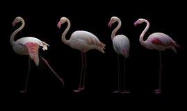 Greater flamingo Phoenicopterus roseus Royalty Free Stock Photography
