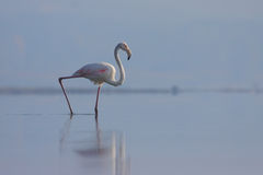 Greater Flamingo (Phoenicopterus roseus). Royalty Free Stock Photos