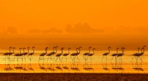Greater Flamingo Phoenicopterus roseus. Walking in a lake at Sunrise stock images