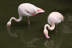 Greater Flamingo (Phoenicopterus roseus). Royalty Free Stock Images