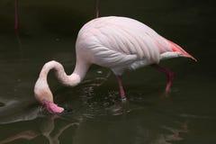Greater Flamingo (Phoenicopterus roseus). Stock Photo