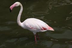 Greater Flamingo (Phoenicopterus roseus). Stock Photos