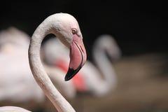 Greater flamingo (Phoenicopterus roseus). Royalty Free Stock Photo