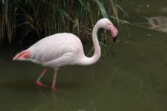 Greater Flamingo (Phoenicopterus roseus). Royalty Free Stock Image