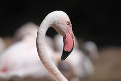 Greater flamingo (Phoenicopterus roseus). Stock Images