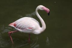 Greater Flamingo Phoenicopterus roseus. Stock Photography