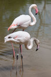 Greater flamingo Phoenicopterus roseus. Royalty Free Stock Photos