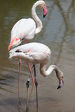 Greater flamingo Phoenicopterus roseus. Stock Images