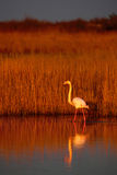 Greater Flamingo, Phoenicopterus ruber, beautiful pink big bird in dark blue water, with evening sun, reed in the background, anim Stock Photos