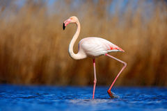 Greater Flamingo, Phoenicopterus Ruber, Beautiful Pink Big Bird In Dark Blue Water, With Evening Sun, Reed In The Background, Anim Royalty Free Stock Photo