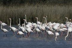 Lees meer: Flamingos in het Grevelingenmeer
