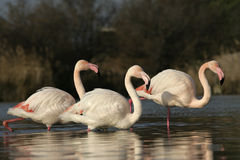 Greater flamingo, Phoenicopterus ruber Royalty Free Stock Image
