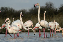 Greater flamingo, Phoenicopterus ruber Stock Image