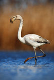 Greater Flamingo, Phoenicopterus ruber, nice pink big bird in the blue water, Camargue, France Stock Images