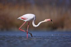 Greater Flamingo, Phoenicopterus ruber, nice pink big bird, head in the water, animal in the nature habitat, Camargue, France. Wil Stock Image