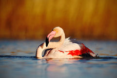 Greater Flamingo, Phoenicopterus ruber, nice pink big bird in the water, with evening sun, animal in the nature habitat, Camargue, Royalty Free Stock Image