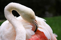 Greater Flamingo - Phoenicopterus ruber roseus. Greater Flamingo grooming - Phoenicopterus ruber roseus.  This is the oldest known Greater Flamingo according to Royalty Free Stock Photos