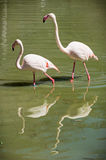 Greater flamingo (Phoenicopterus ruber roseus) Royalty Free Stock Photography