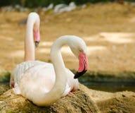 Greater flamingo (Phoenicopterus ruber roseus) Royalty Free Stock Photo