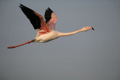 Greater flamingo, Phoenicopterus ruber Stock Photos