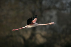 Greater flamingo, Phoenicopterus ruber Stock Photography