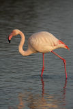 Greater flamingo, Phoenicopterus ruber Royalty Free Stock Photos