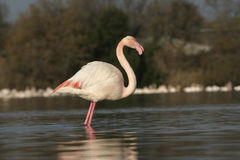 Greater flamingo, Phoenicopterus ruber Royalty Free Stock Photography