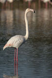 Greater flamingo, Phoenicopterus ruber Royalty Free Stock Images