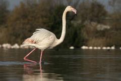 Greater flamingo, Phoenicopterus ruber Stock Photo